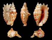 ', , Laciniate Conch; length 10 cm; originating from Bohol Island, Philippines; shell from own collection, therefore not geocoded. Dorsal, lateral (right side), ventral, back, and front view.