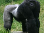 English: Male silverback(A.K.A MARK GRAHAM) Gorilla, Gorilla gorilla in SF zoo
