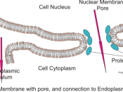 English: Illustration of double layer of the nuclear membrane with pore surrounded by protein complexes and connection to the Endoplasmic reticulum