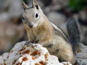 Golden-mantled Ground Squirrel (Spermophilus lateralis). Bryce Canyon, Utah (USA). Image taken by Eborutta.