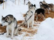 Sled dogs at Vermilion Winter Days