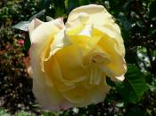 The Hybrid Tea rose, 'Peer Gynt'