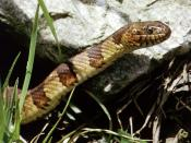 Northern Watersnake, Nerodia sipedon. Location: Durham, North Carolina, United States