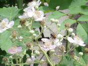 English: Bee pollinating Blackberry in an English garden