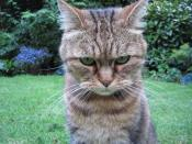 English: Angry cat