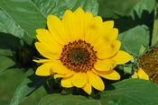 English: Sunflower (Helianthus annuus). Jardin des Plantes, Paris