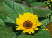 English: Sunflower (Helianthus annuus). Jardin de Plantes, Paris