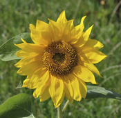 English: Sunflower (Helianthus annuus) in Oberursel, Germany. Deutsch: Sonnenblume (Helianthus annuus) in Oberursel.