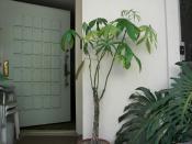 Money tree in house