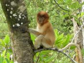 English: Juvenile Proboscis Monkey in Bako National Park, Borneo, Malaysia