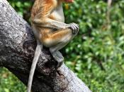 Proboscis monkey in the wild, Nasalis larvatus