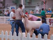 Sheep being judged at the 2007 Indiana State Fair