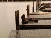 California Sea Lions at Pier 39 (Fisherman's Wharf, San Francisco)
