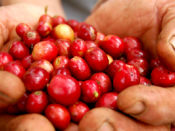 English: Red coffee cherries are mature coffee berries, fit to be pulped according to the 'wet method', to obtain 'washed coffee', the standard for specialty coffee.