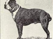 Boston Terrier from 1915