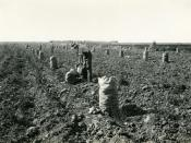 English: Harvesting potatoes in Idaho's Boise Valley, circa 1920.