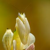 Hymenopus coronatus orchid mantis. Français : Mante orchidée (Hymenopus coronatus) Deutsch: Orchideenmantis (Hymenopus coronatus).