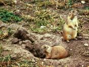 Black-tailed Prairie-Dog (Cynomys ludovicianus) Deutsch: Schwarzschwanz-Präriehunde