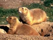 Prairie Dog from U.S. Fish and Wildlife Service