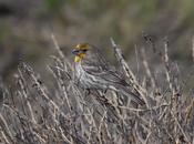 English: Yellow-variant adult male House Finch (Carpodacus mexicanus) camouflaged in brush. Français : Un Roselin familier (Carpodacus mexicanus) mâle caché dans les buissons. L'individu est un variant à plumage jaune.