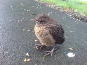 English: Blackbird chick in Auckland, New Zealand. The birds in NZ generally show little shyness to humans.