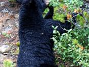 Black Bear at Lake Louise