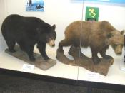 English: An American black bear and a European brown bear in the Natural History Museum of Genoa