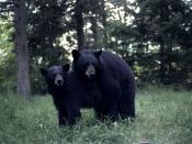 English: Two black bears mating