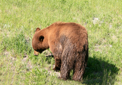 Ursus americanus, the at