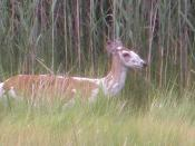 English: Piebald Deer. Image taken in Hampton Virginia