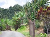 Coffee and banana farm in Adjuntas Puerto Rico.