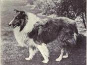 Collie (rough) from 1915