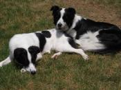 English: Two Border Collies.