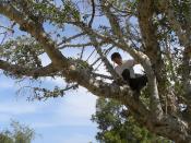 Sycamore Tree - C