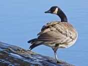 Canada Goose, Reifel Migratory Bird Sanctuary, Ladner British Columbia