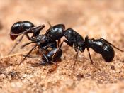 English: Two Plectroctena sp. ants, either P. mandibularis or P. strigosa. Each ant was about 15-20mm long. Pictured in Dar es Salaam, Tanzania. Français : Deux fourmis du genre Plectroctena sp. (soit P. mandibularis, soit P. strigosa). Chaque fourmi mesu