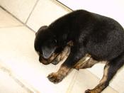 Zaguate puppy