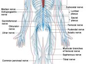 English: A diagram of the Human Nervous system. Français : Schéma du système nerveux humain.