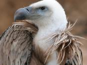 Picture showing a Griffon Vulture (Gyps fulvus) beak. Español: Perfil del buitre leonado (Gyps fulvus), típico de los parajes alcalareños Français : Tête de vautour fauve (Gyps fulvus). Polski: Dziób sępa płowego (Gyps fulvus), widok z profilu. Autor zdję