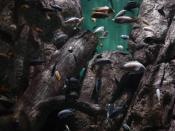 A sampling of aquarium fish from Lake Malawi, in Africa