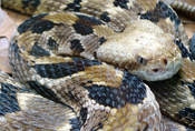 English: Timber rattlesnake (Crotalus horridus)
