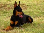 A female Doberman Pinscher.