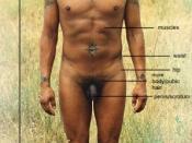 male secondary sexual characteristics