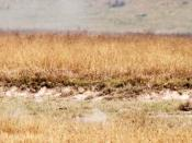 English: Cheetah (Acinonyx jubatus) in pursuit of a Thompson's gazelle (Gazella thomsonii ). Ngorongoro Crater, Tanzania. Photo by Lee R. Berger. The cheetah uses its black and yellow fur to ambush its prey.