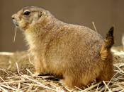 English: A black-tailed prairie dog at the National Zoo in Washington, D.C., looks out from a system of burrows, characteristically scanning the horizon. On average, these rodents grow to between 12 and 16 inches (30 and 40 cm) long, including their short