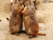 Kissing Black-tailed Prairie Dogs (Cynomys ludovicianus). Français : Chiens de prairie à queue noire (Cynomys ludovicianus) se faisant la bise. 日本語: キスしてるオグロプレーリードッグ (Cynomys ludovicianus)