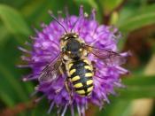English: Anthidium florentinum male. Males are noticeably larger than females and have a stouter body. Français : Une anthidie cotonnière (Anthidium florentinum) mâle. Chez cette espèce d'abeilles solitaires, le mâle est nettement plus gros que la femelle