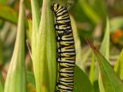 A Monarch butterfly (Danaus plexippus) caterpillar feeding on a leaf of the Swamp Milkweed (Asclepias incarnata) in a private garden in Lancaster, Pennsylvania.