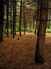 English: Normanshill Wood, Pine Trees. A plantation of Norwegian Spruce trees. Common fern or bracken grows beneath the trees, except where the woodland is dense and dark. Only pine needles and cones lie on the ground.