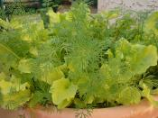 Dill with Black Seeded Simpson Lettuce sowed 1/11.